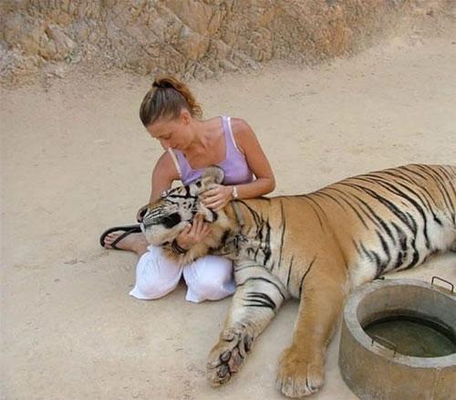 Когда гуляешь с тигром, ни в коем случае нельзя идти впереди тигра, они этого не любят. Зато тигры любят когда их гладят, и совсем как домашние кошки иногда могут положить голову на колено или начать тереться об ноги.